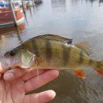 Gericht vissen op grote Baars met kunstaas