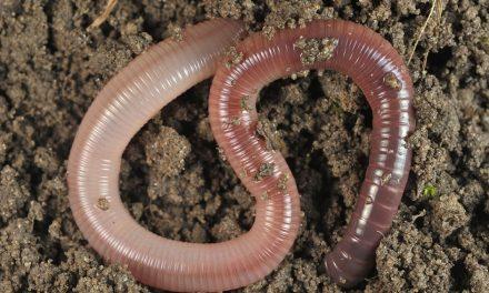 Karpervissen met de worm